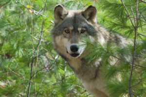 Grey wolf peering through trees.