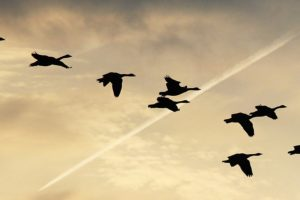 Geese flying in a yellow and cloudy sky