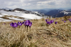 Purple flowers building resilience in grass near melting snow.