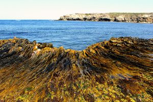 Seaweed on the shore and in the ocean
