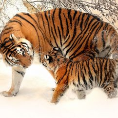 tiger and cub in snow
