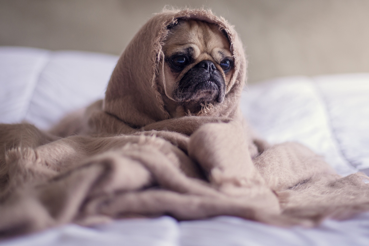 Sad pug wrapped in a blanket