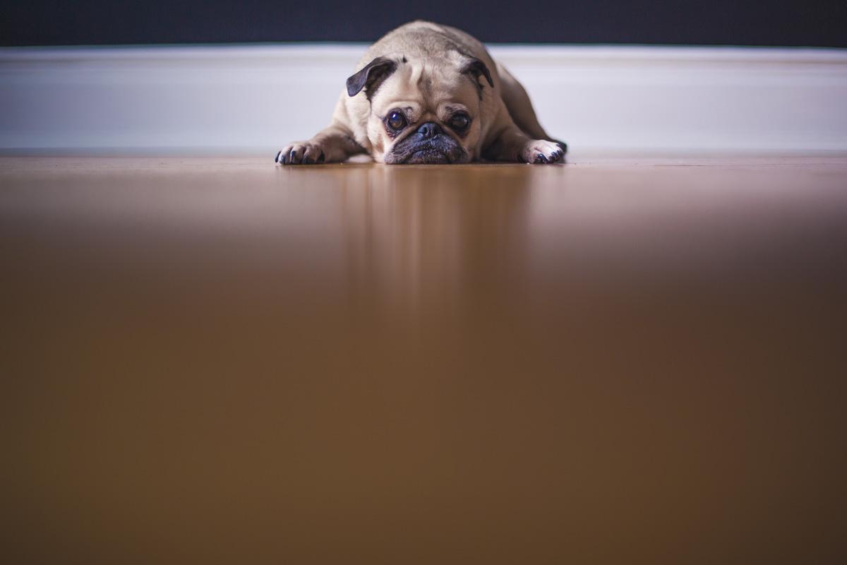 sad looking pug lying on the floor