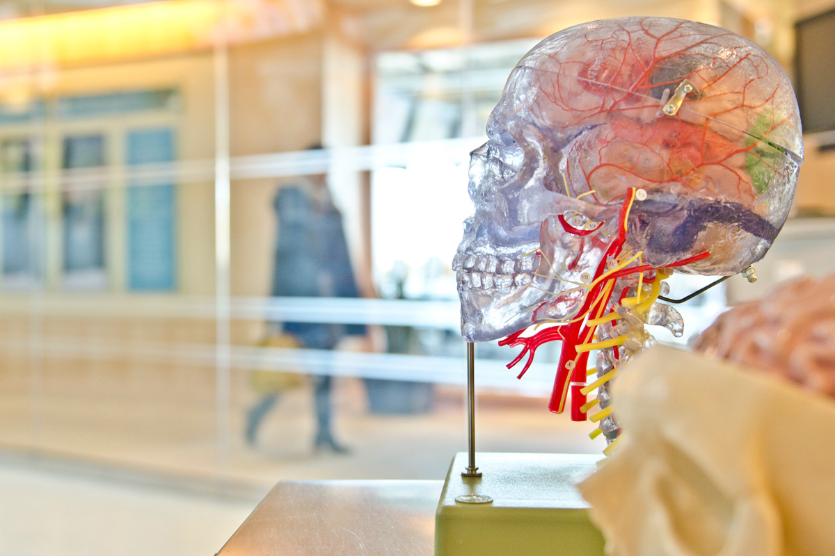 three dimensional diagram of human skull and brain